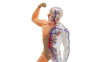 Isolated human anatomy model. Isolated human body model toy.