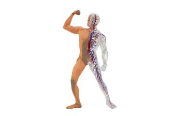 Isolated human anatomy model. Isolated human body model toy.
