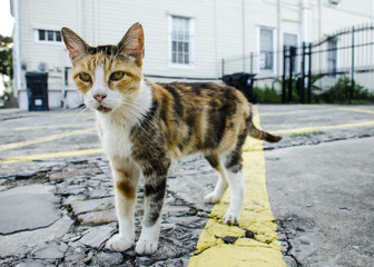 Closeup of a Stray Kitty on a Street of New Orleans, Louisiana