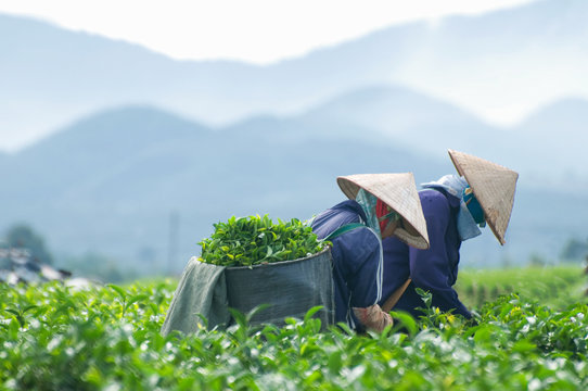 Workers are harvesting tea in plantation in Dalat, Vietnam. Dalat city is Vietnam's largest vegetable and flowers growing area. Dalat is one of the best tourist city in Vietnam.