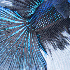 betta tail fish abstract