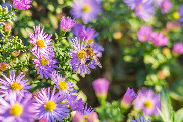 A bee on lilac asters