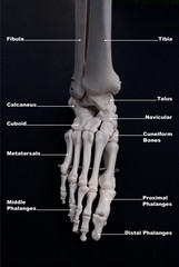 Foot Anterior View, Labelled