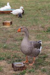 greylag goose  in the animal farm
