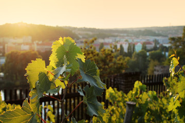 Lush Grape Vineyard, Prague,Czech Republic