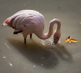Beautiful pink Rosy Flamingos resting in the water