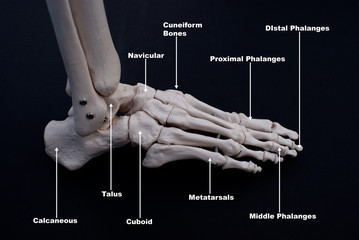 Bones of The Foot, Lateral View, Labelled