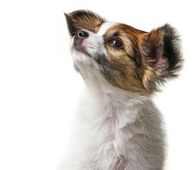 cute papillon puppy isolated over white