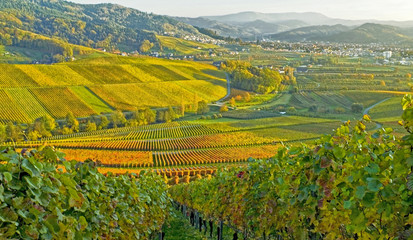 Wall Murals Vineyard herbstliche Weinberge im Schwarzwald