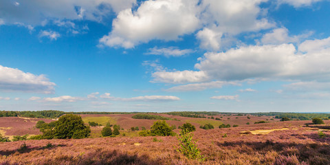 Panoramic image of blooming heathland at the Veluwe
