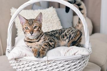 Beautiful Bengal kitten in basket at home