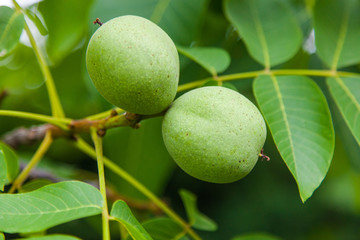 Fruit of a green walnut on a tree