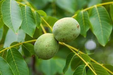 Fruit of a green walnut on a tree