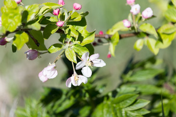 flowers on apple tree in nature