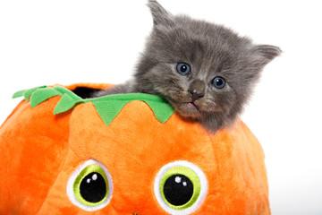 Cute gray kitten in pumpkin
