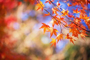 red maple leaf in autumn season
