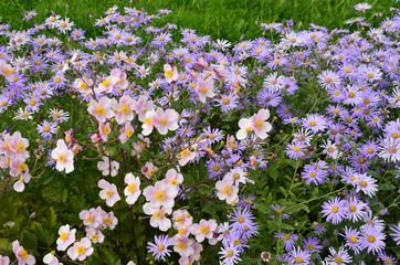 Anemonen und Astern blühen im Herbstgarten