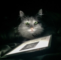 Cute cat looking at an iPad mobile device against black background.