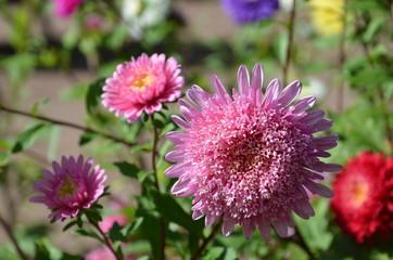 Sommerastern blühen bunt im Garten