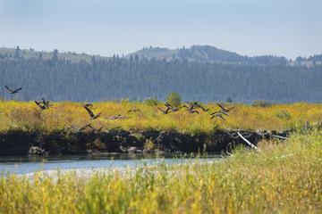 Geese taking flight, Buffalo Fork River, Wyoming.