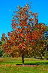 A maple tree in fall in National Arboretum, Washington DC. Colorful maple tree in autumn against a blue sky.
