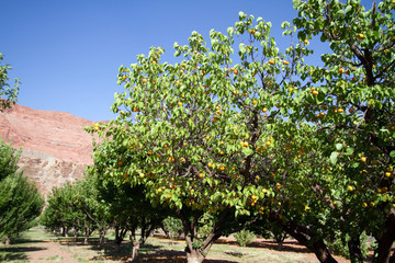 Apricot Orchard in Lonely Dell Ranch National Historic District at Lee's Ferry in Arizona