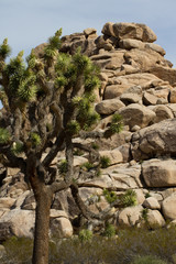 Joshua Tree and intriguing rocks in Joshua Tree National Park in California