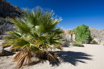 Palm trees at Cottonwoods Springs in Joshua Tree National Park