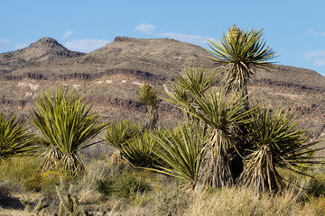 Joshua Trees and eroded hills in Mojave National Preserve in California