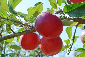 林檎の収穫