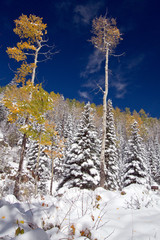 An early snow brightens yellow aspens in Santa Fe National Forest in New Mexico