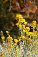 Chamisa or Rabbit Bush blooms in autumn in the Rocky Mountains