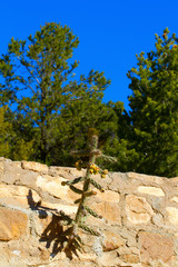 One tough cactus grows from a stone wall in Santa Fe, New Mexico
