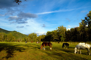 Great Smoky Mountains National Park horses in Cades Cove section