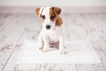 Puppy on absorbent litter