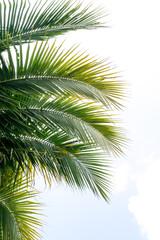 Coconut green leafs