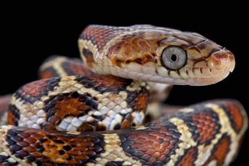 Yellow-red Rat Snake (Pseudelaphe flavirufa)