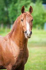 Portrait of beautiful red arabian stallion