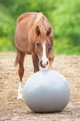 Fototapete - Young arabian horse playing with a ball