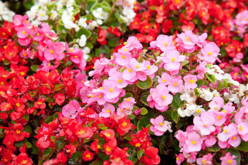 Begonia Flowers in red, white and pink colors