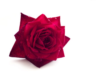 red rose flower with dew drops of water