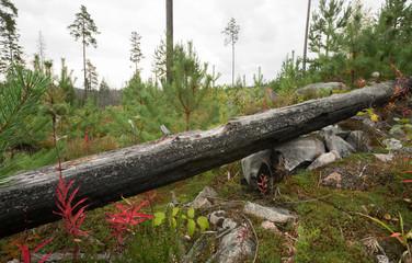 Burnt pine tree trunk, habitat for Tragosoma depsarium larva