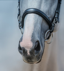 Wall Mural - Muzzle of grey stallion with white mark close up