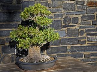 Willow-leaf Fig Bonsai