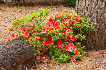 Bush of an azalea with red  flowers