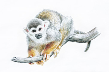 cute common squirrel monkey zoo animal illustration, monkey hand drawn sketch in colored pencils, Chinese New Year 2016, Year of the Monkey