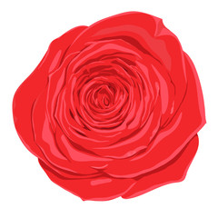 beautiful red rose  flower with the effect of a watercolor drawing isolated on white background.