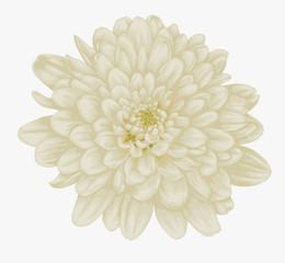 beautiful beige dahlia isolated on white.