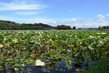 ハス畑/山形県の鶴岡市でハス畑を撮影した写真です。