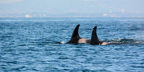 Orca killer whales pair swimming with dorsal fins